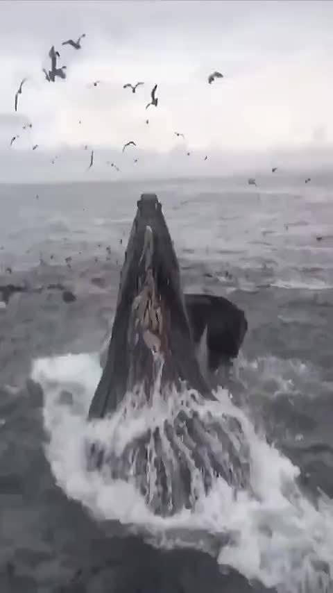 鲸鱼叫有远古的感觉 见者好运