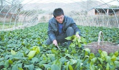 这个菠菜新品种,口感好吃也好种,产量还高,立秋后很多人争着种