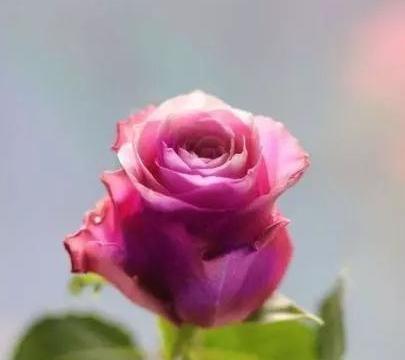 心理测试:选择一束玫瑰花,测出你能否把握住爱情