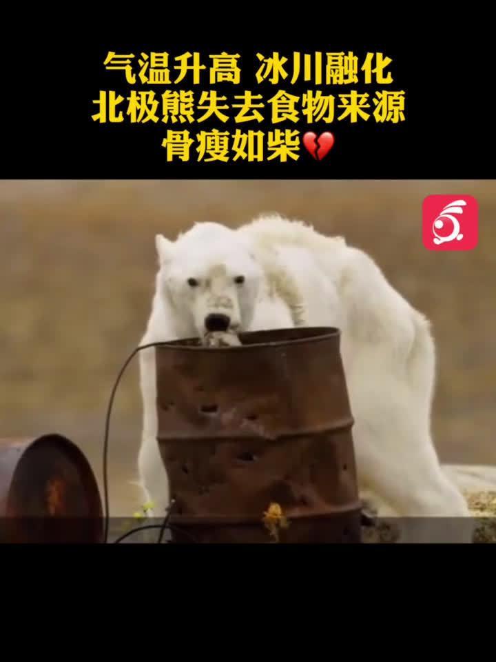 全球气温变化,北极熊们失去了食物,而且还可能马上失去家园...