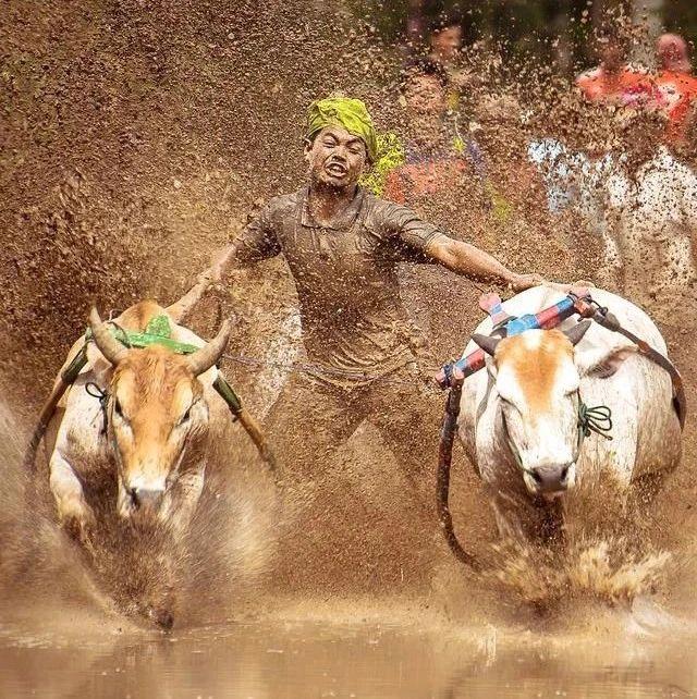 【东盟风情】巴东赛牛,苏门答腊稻田上的速度与激情