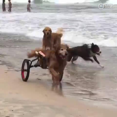 金毛狗狗天生残疾,幸运的是遇到了一个爱它的主人……