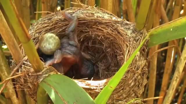 为独享义亲抚育,杜鹃鸟刚出生,便会把其它幼鸟推出鸟窝摔死!