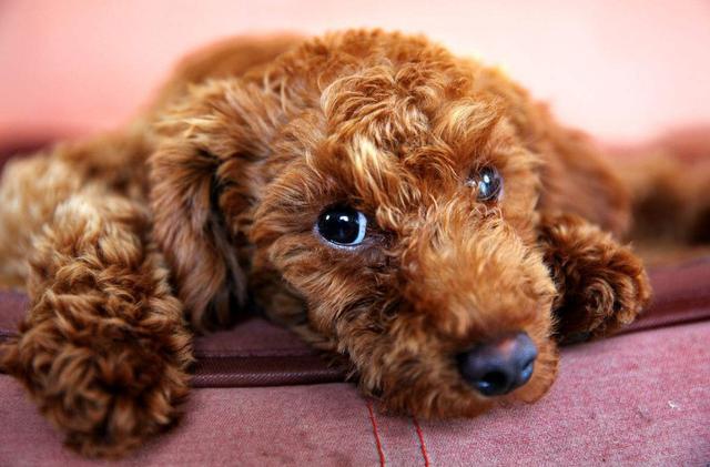"""养了""""泰迪犬""""几年,花了上万元医药费后,我明白了这7个道理"""
