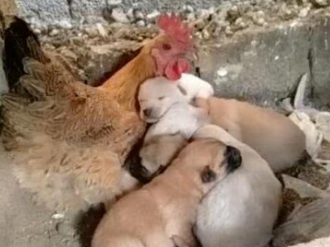 母鸡充当狗妈妈,小心呵护着身边的小狗仔,画面好暖心!