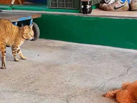 大花猫背后偷袭泰迪,泰迪反身做出如此动作,主人看了哭笑不得