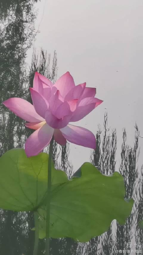 在你的胸前,我已变成会唱歌的红莲花