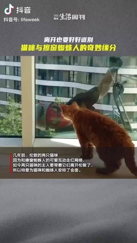 几年前,伦敦的两只猫咪因与擦窗蜘蛛人的可爱互动走红网络