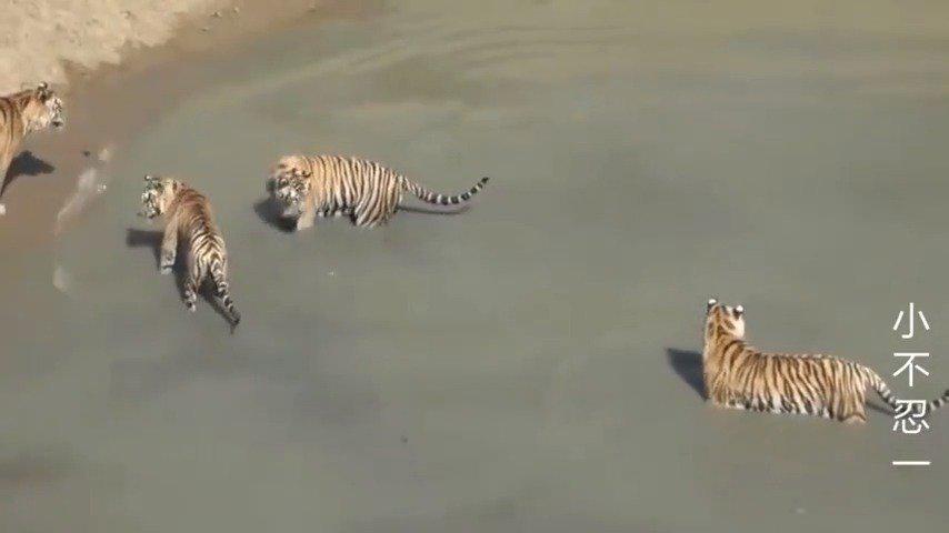 动物园给老虎喂活鸭,结果...... 鸭子:怎么样……
