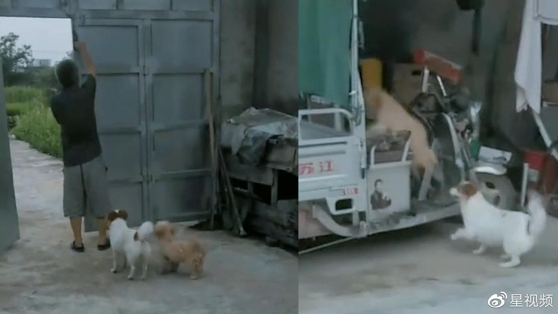 只要家门全开,两狗子自觉上三轮车等待兜风,互相争抢模样成精了