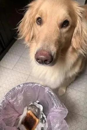 为了烧焦的面包片,金毛围着垃圾桶半天,盯着主人看:我能吃么?
