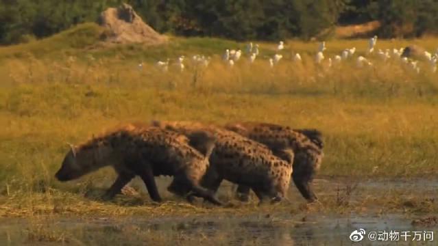 母狮辛苦捕获的小牛没吃几口就被鬣狗抢走了……