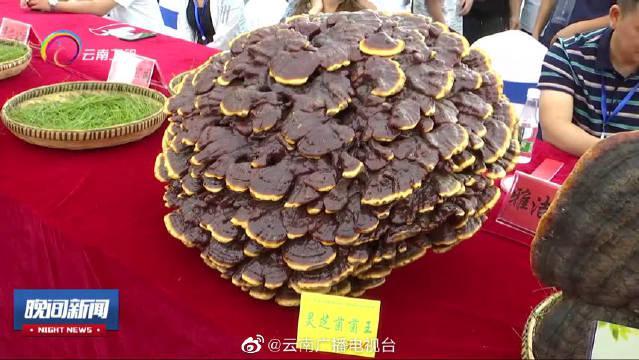 """楚雄南华野生菌菌王选拔赛 超14公斤的""""巨无霸""""野生菌你见过吗"""