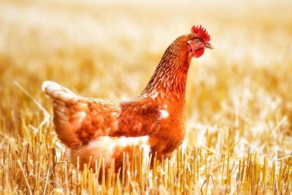 """""""生肖鸡""""什么时候开始享清福?一切都是上天安排,看完你认命吗"""