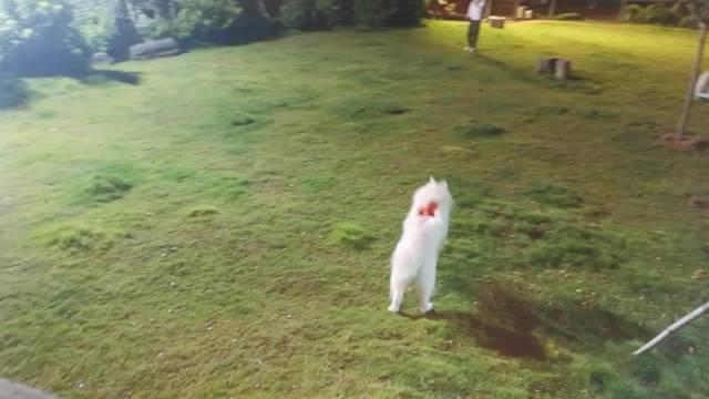 来自揭阳的萨摩耶小白,为了送小狗过来寄养……