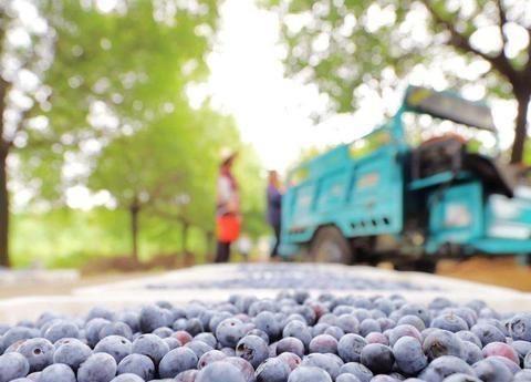 这种小浆果,美味又营养,吸引了全国各地的人们采摘