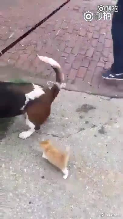 一个主人带着狗狗出去遛弯,突然被一只小橘猫尾随