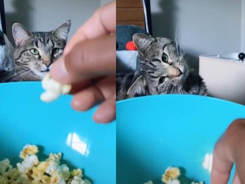 主人吃爆米花,遭狸花猫凝视