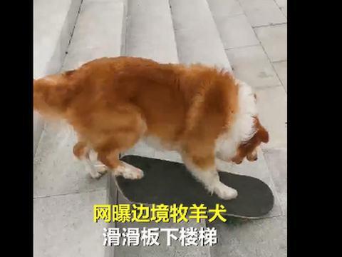 4岁牧羊犬滑滑板下30级楼梯,网友:众所周知,边牧是边牧狗是狗