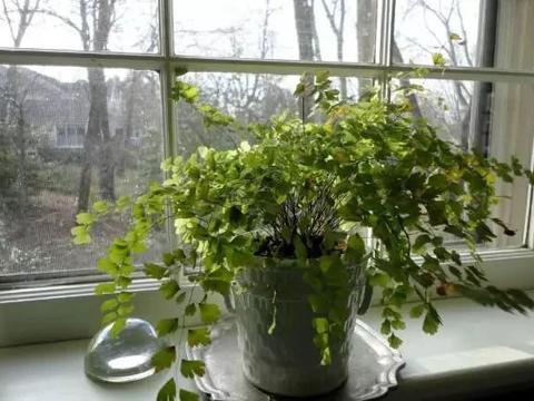 铁线蕨黄叶剪掉还是枯萎了,教你一招救活它,几周长出茂盛嫩叶
