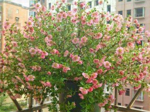小木槿一度夏就黄叶黑腐?做好这四点防护,叶绿花红,安全度夏