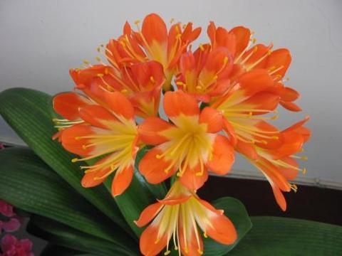 家里养君子兰,了解掌握2个诀窍,叶片厚实油亮,天凉早开花