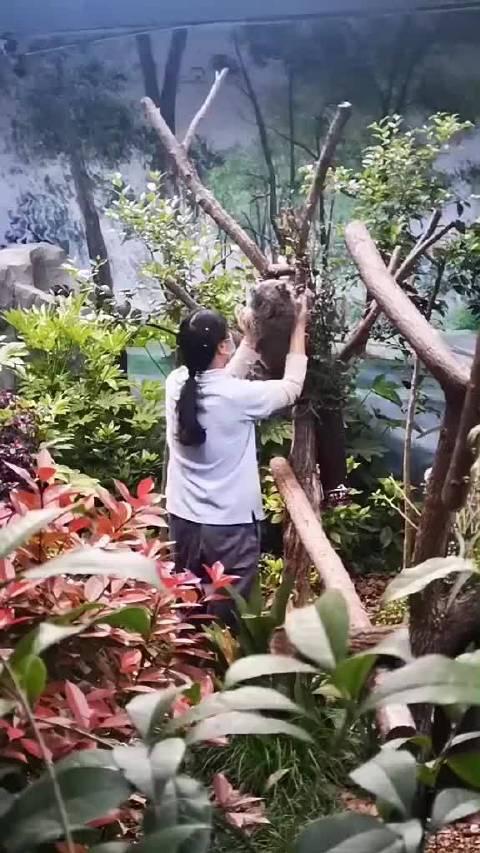 动物园下班收考拉