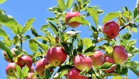 果树缺铁影响生长,选择好的铁肥才能很好补充,提高产量及质量