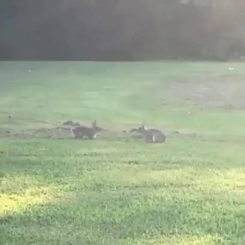 两只小野兔在草地上玩耍 by/IG/wildlife85official
