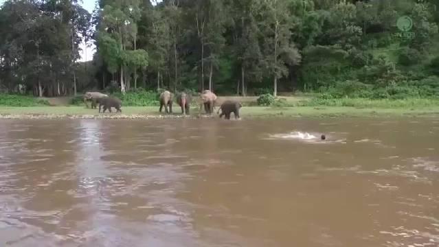 善良的小象以为河里的人溺水了,就急忙淌水过去救人……
