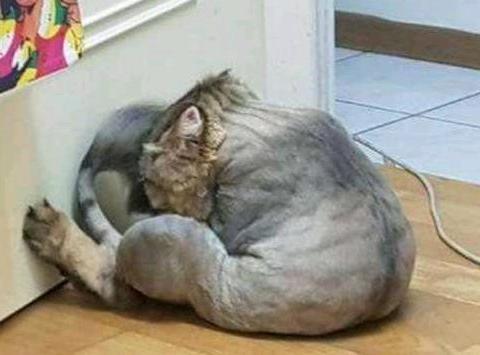 为了让自己的爱宠变的好看,给猫咪做新发型喵星人身心受挫!