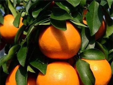 柑橘脚腐病的防治