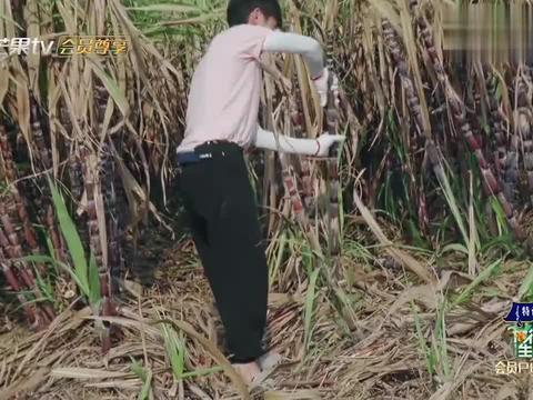 向往:说好的一千根甘蔗,彭昱畅刚搬了几十根,就直接累瘫!