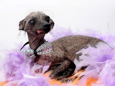 世上最丑的狗狗被大公司看中,还与它签约三年准备捧为明星