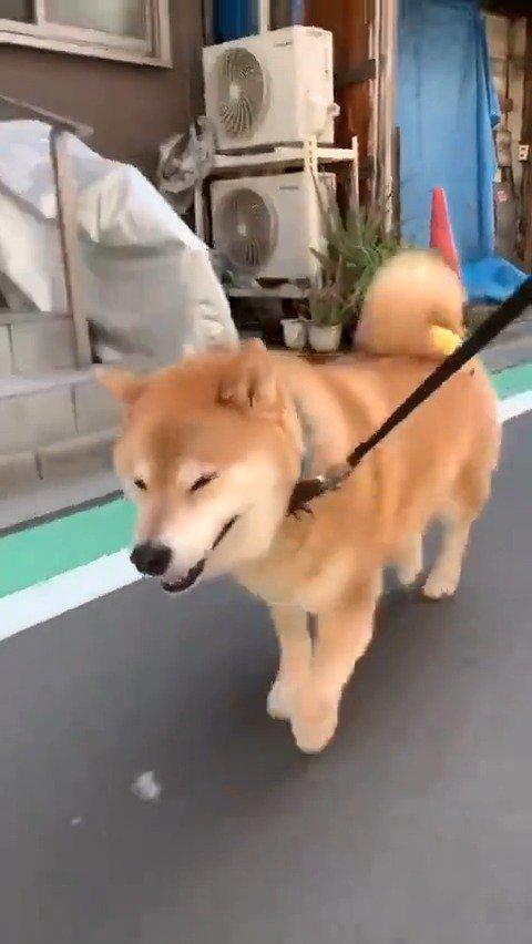 一只自带零食的柴犬,用尾巴夹住零食的样子也太萌了