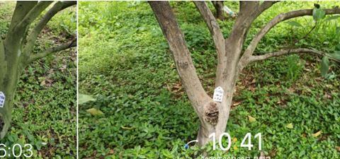 多雨导致柑橘青苔严重?这个技巧让果树更清爽!