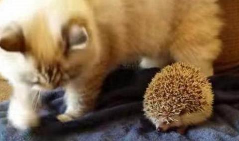 女子捡到一只小刺猬,带回家后被猫咪看到,接下来的行为让人笑喷