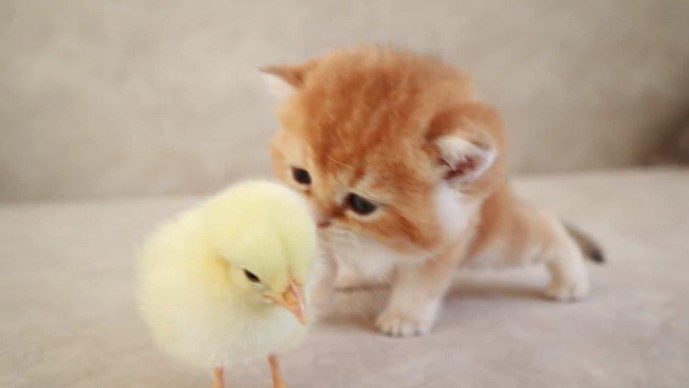 今日份晚安动物:英国短毛猫与小鸡(From Teddy Kittens)
