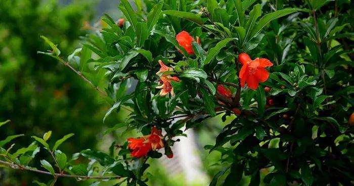 这几种果树寓意好,院子里种几棵,添福好运真不错