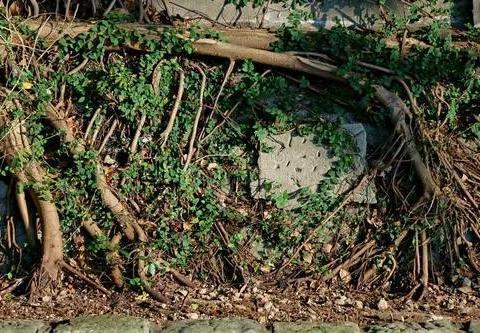 这个除草剂,3天就能杀死树根!凭啥这么厉害?