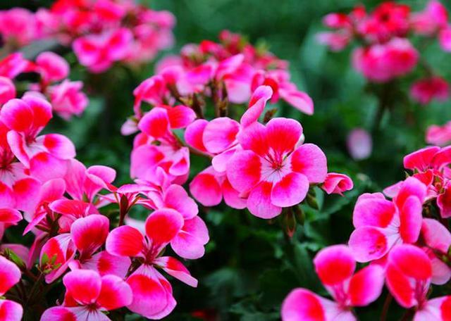 这几种花正从高温环境中醒神,修剪、施肥都安排上,能窜花苞