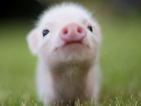 """1971年""""猪""""的未来20年:命不是一般的好!看完你认命吗?"""
