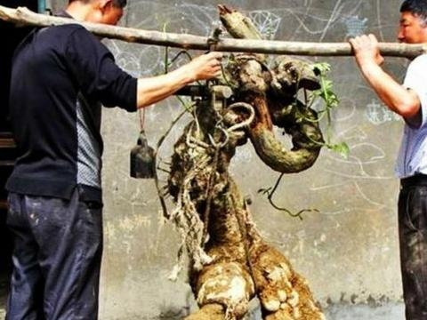 农夫在农田里干活,挖出一树根,女儿看到后淡定不下来