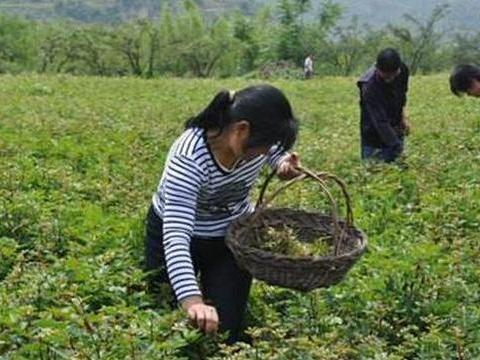 """这种""""野菜""""消炎杀菌防流感,农村人不想吃,城里人揣钱买不到"""