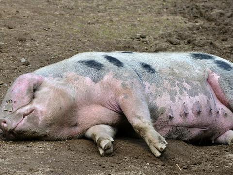 辟谣!母猪肉中含有免疫球蛋白,对人体有害,孕妇吃了小孩得疯病