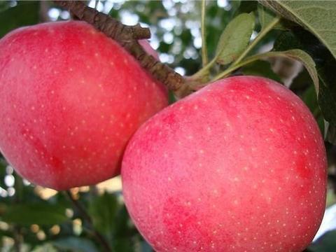 苹果树栽培技术|苹果园调节土壤的4种方法
