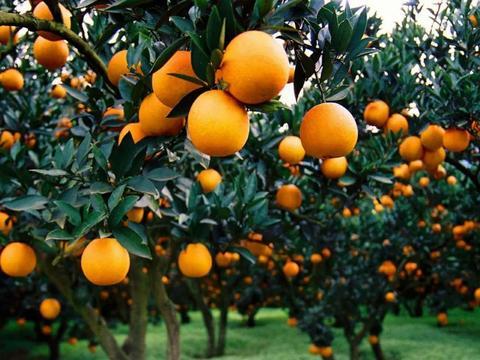 2020年柑橘有机肥替代化肥技术指导意见 (长江上游柑橘带)