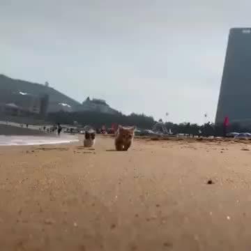 在海边散步的小猫咪,小短腿也太可爱了