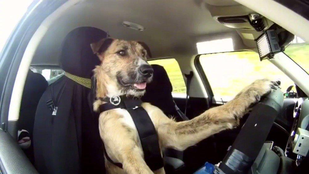 新西兰三条小狗仅花8周时间就熟练掌握了基本的驾驶技能……