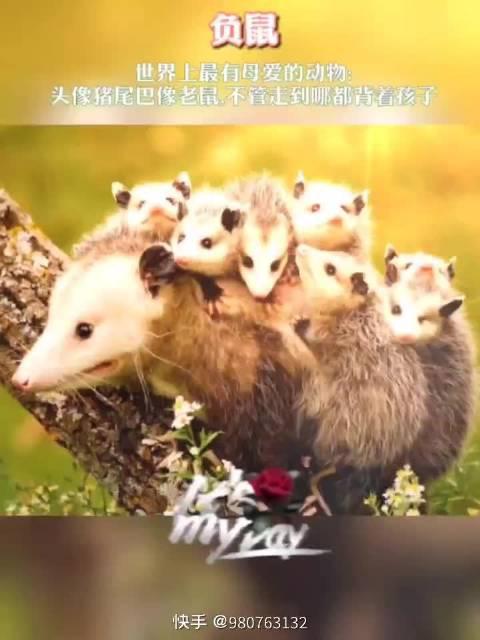 茶茶小科普: 世界上最有母爱的鼠类!驮着婴儿期的小鼠走路!